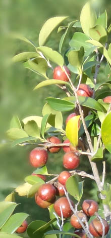 Tea Seed Series